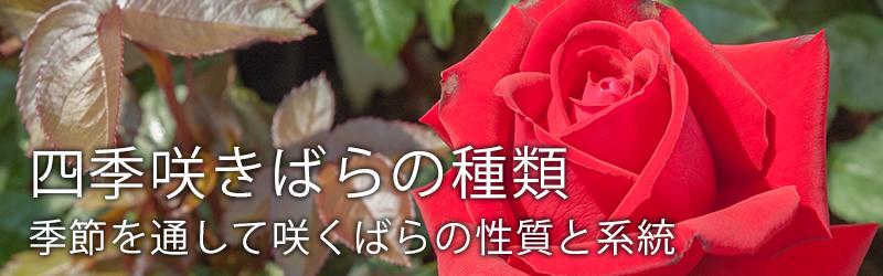 四季咲きばらの種類 – 季節を通して咲くばらの性質と系統