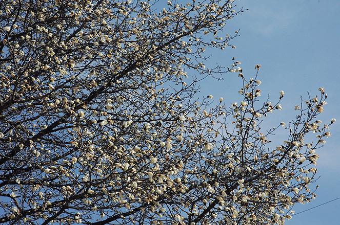 青空に映える辛夷の花