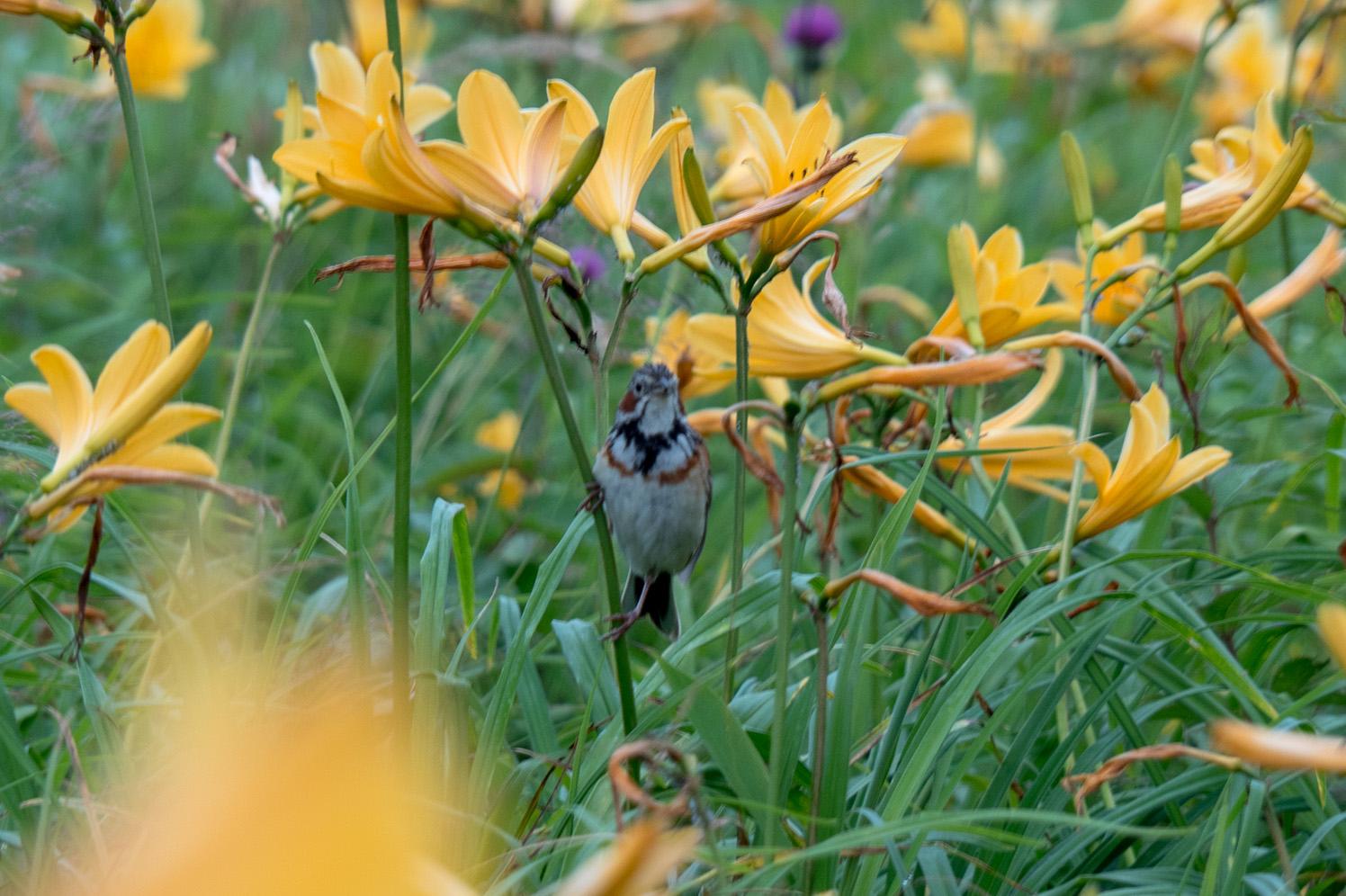 ニッコウキスゲと野鳥