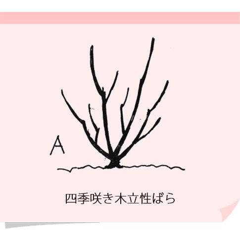 四季咲き木立ばら