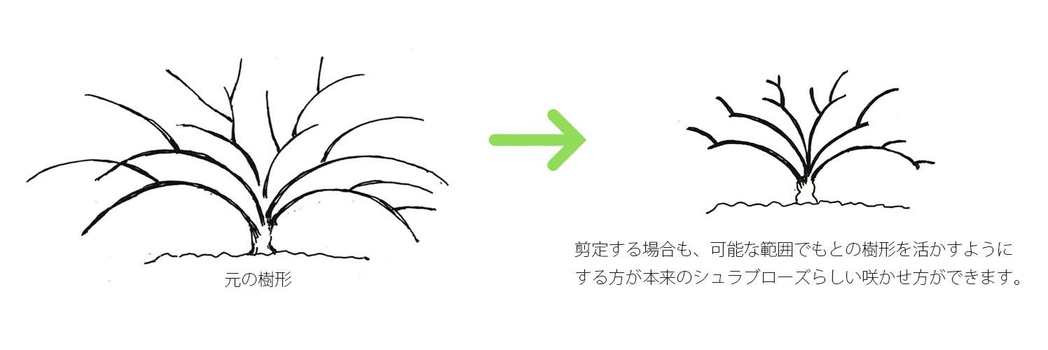 剪定する場合も、可能な範囲でもとの樹形を活かすようにする方が本来のシュラブローズらしい咲かせ方ができます。