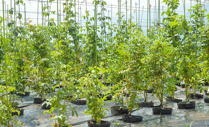 ばら苗の植え付け方