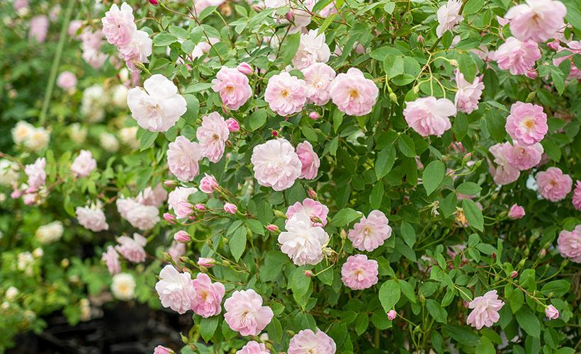 返り咲き性つるばらと四季咲きばらの管理の違い