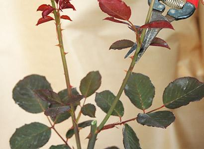 脇の細い枝を、数枚葉をつけて切る