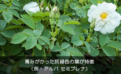アルバ セミプレナの葉