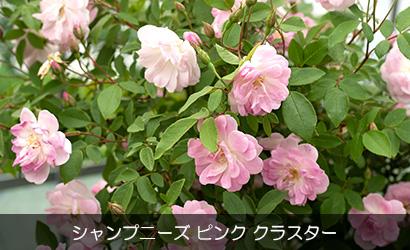 シャンプニーズ・ピンククラスター