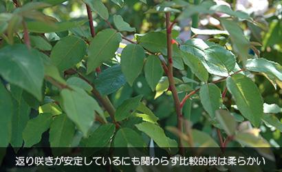 ブラッシュ ノアゼットの枝 / 返り咲きが安定しているにも関わらず比較的枝は柔らかい