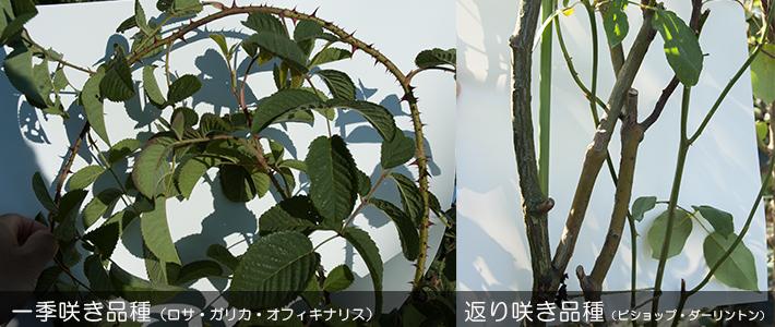 一季咲き品種と返り咲き品種の枝の様子
