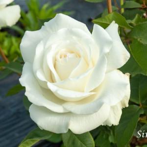 シンセラ - 「誠実さ」を表す白ばら