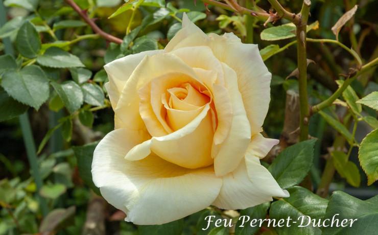 フー ペルネ デュッシェ - 初の黄色四季ばら作出者を讃えたばら