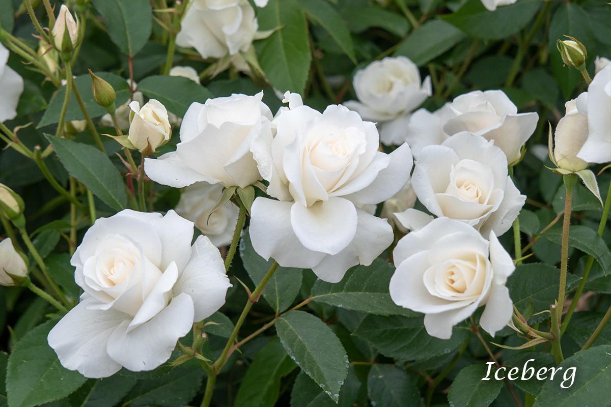 アイスバーグ - フロリバンダ最高傑作、完成された白の名花