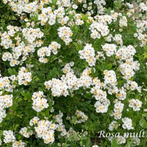 ロサ ムルティフローラ - 房咲き性の親となった日本の野ばら