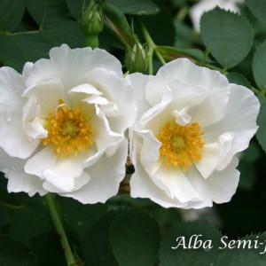 アルバ セミプレナ -清楚な純白の花と、青味を帯びた葉が美しいアルバローズ代表格