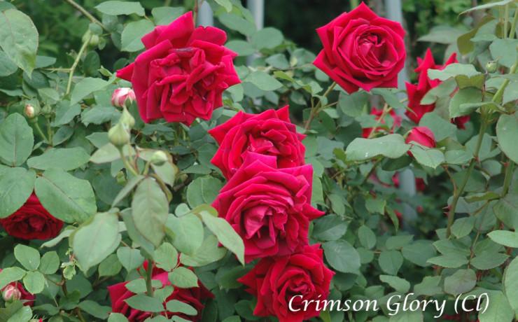 つる クリムソン グローリー - 名花クリムソングローリーの枝変わりつる性種