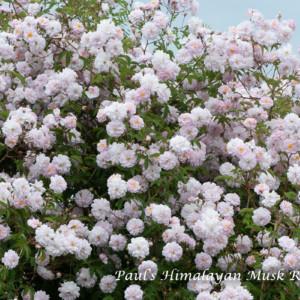 ポールズ ヒマラヤン ムスク ランブラー - ランブラー屈指の花付き、はらはらと散る姿は桜のよう