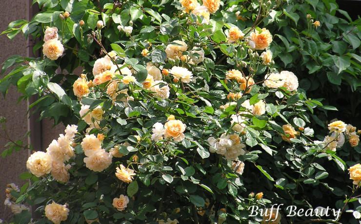 バフ ビューティー - 返り咲きがある杏黄色の花色、そしてムスク香