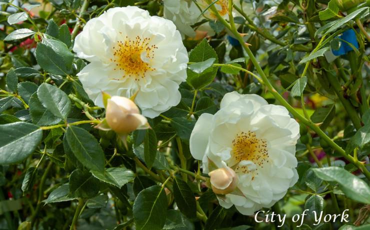 シティー オブ ヨーク - 枝ぶりも扱いやすい耐寒性抜群の白つるばら