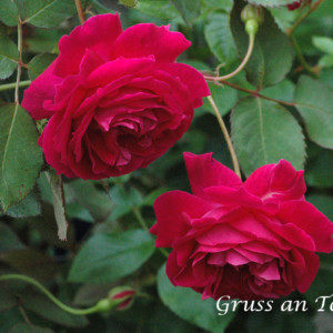 グルス アン テプリッツ -明治時代から愛されている、ローズ赤の名花