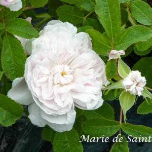 マリー ド サンジャン - 小型つるバラとして清らかな演出
