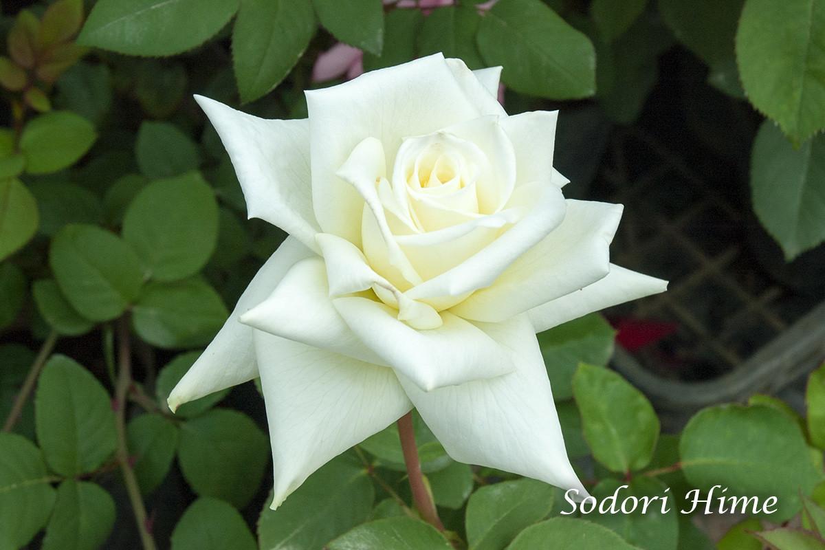 そどおり姫(衣通姫) - 神秘的な趣がある日本生まれの花
