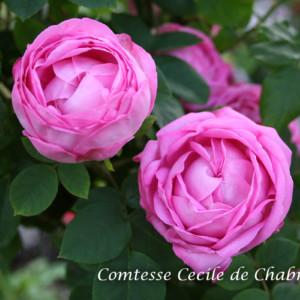 コンテス セシル ド シャブリラン - 小スペース向きの半つるばら