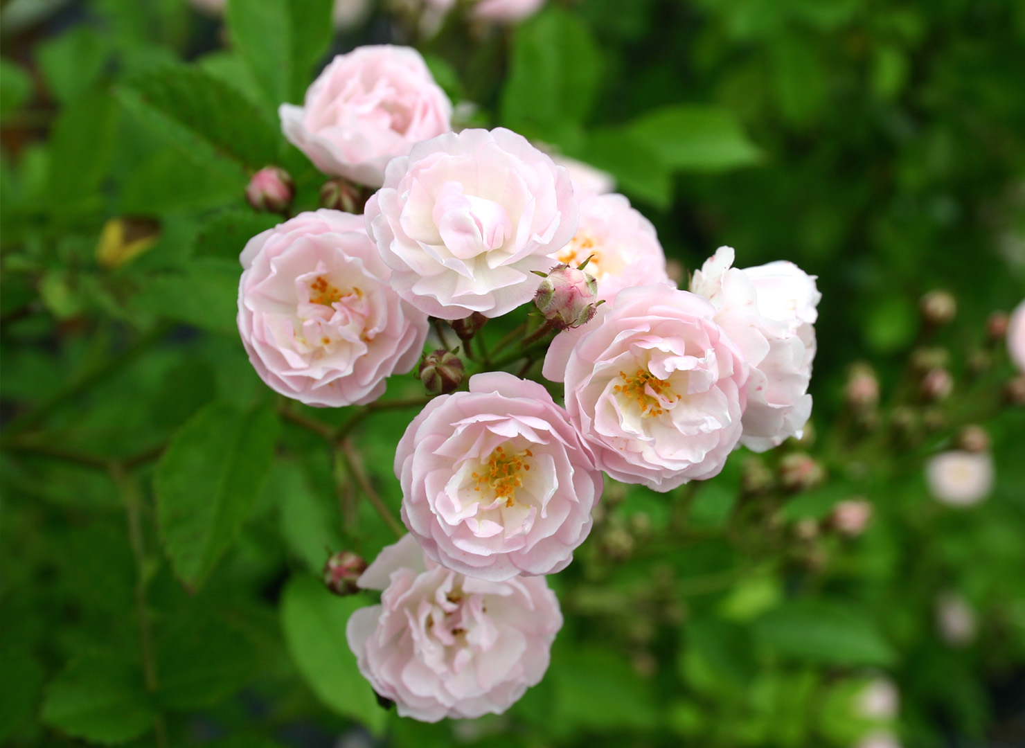 薔薇物語 - Bara monogatari