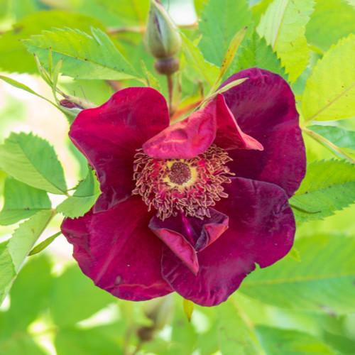 ベイシーズ パープル ローズ - Basye's Purple Rose