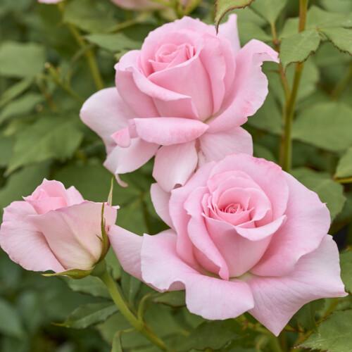 ブライダル ピンク - Bridal Pink