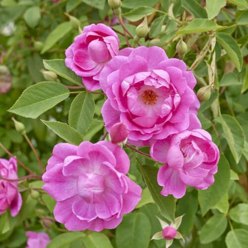 キャメリア ローズ - Camellia Rose