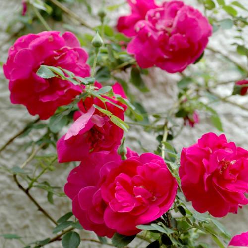 スリーズ ブーケ - Cerise Bouquet