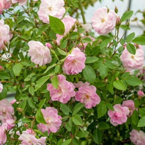 シャンプニーズ ピンク クラスター - Champney's Pink Cluster