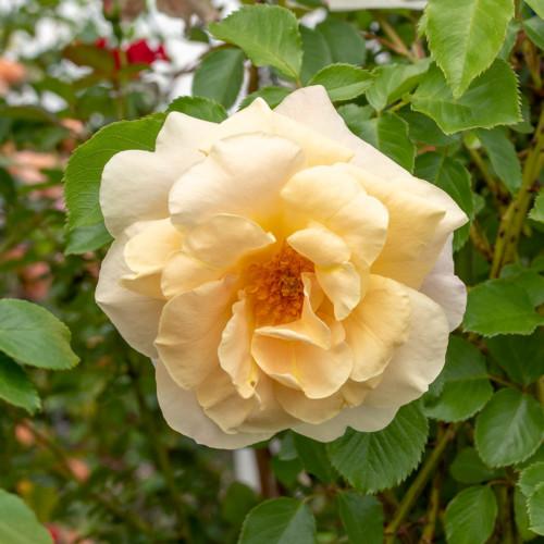 イースリーズ ゴールデン ランブラー - Easlea's Golden Rambler