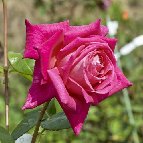 エデン ローズ - Eden Rose