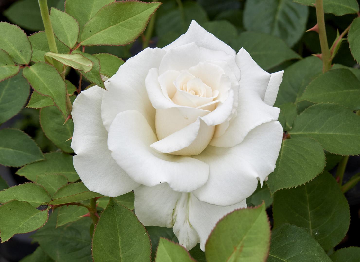 エレガンス アイボリー - Elegance Ivory