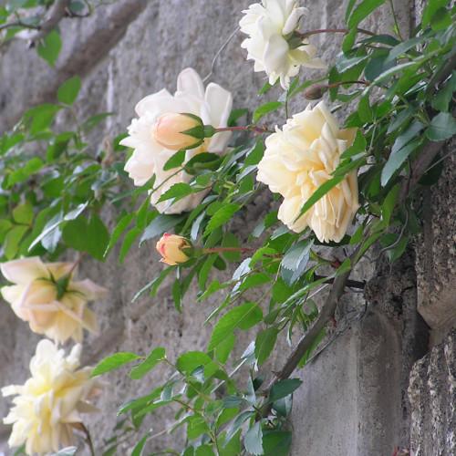 ガーデニア - Gardenia