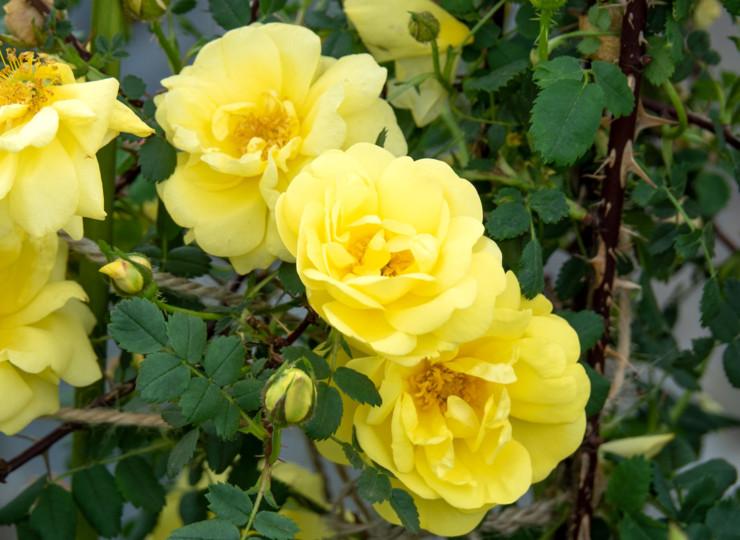 ハリソンズ イエロー - Harrison's Yellow