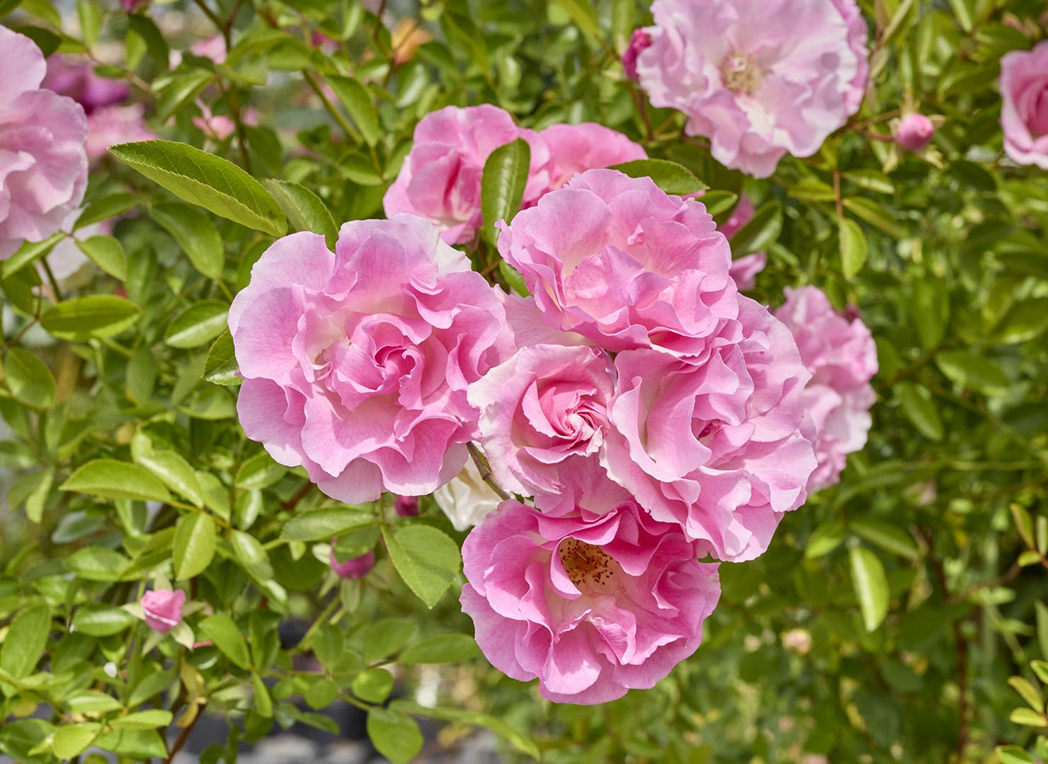 春がすみ - Harugasumi