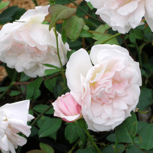 ヒュームズ ブラッシュ ティー センテッドチャイナ - Hume's Blush Tea-scented China
