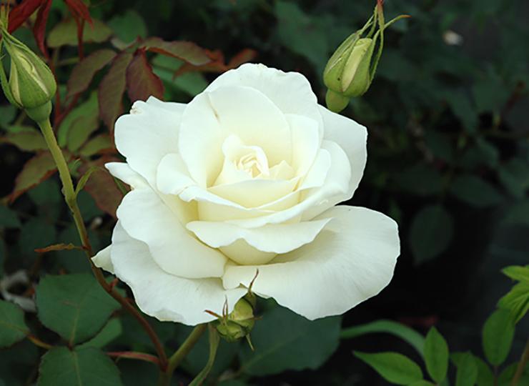 ブライダル ホワイト(しろたえ) - Bridal White