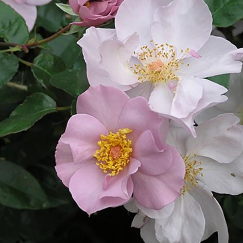 ライラック チャーム - Lilac Charm