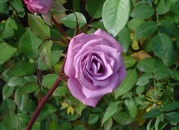 ヴァイオレット ドリー - Violet Dolly