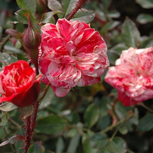 ストロベリー スワール - Strawberry Swirl