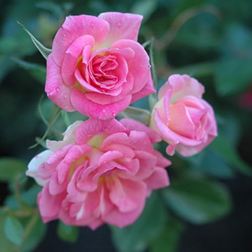 ピンク スタリナ - Pink Starina