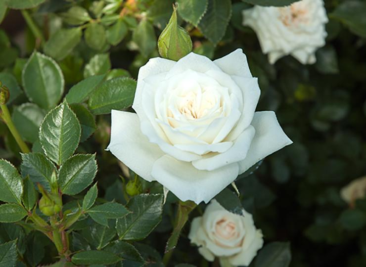 ホワイト ジェム - White Gem