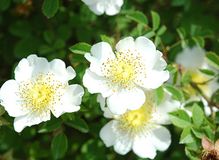 ロサ アルウェンシス - Rosa arvensis