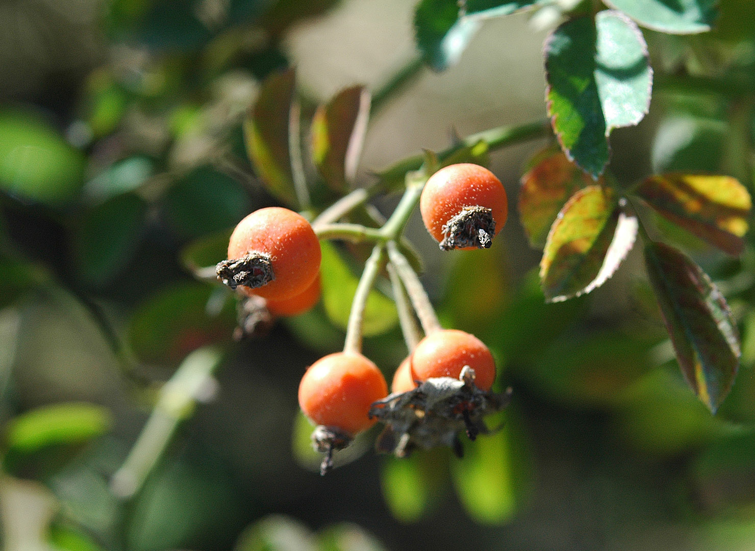 キュー ランブラー - Kew Rambler