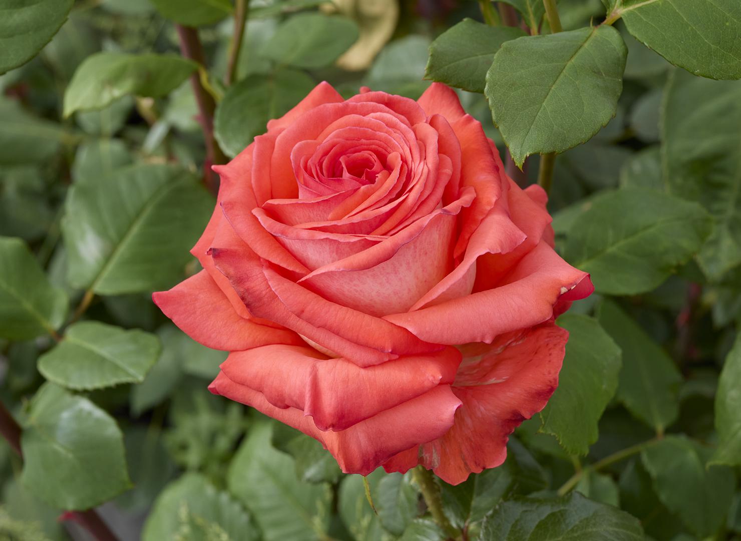 ケニギン デル ローゼン - Königin der Rosen