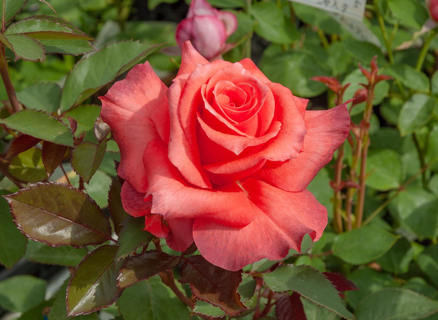 レディ ローズ - Lady Rose