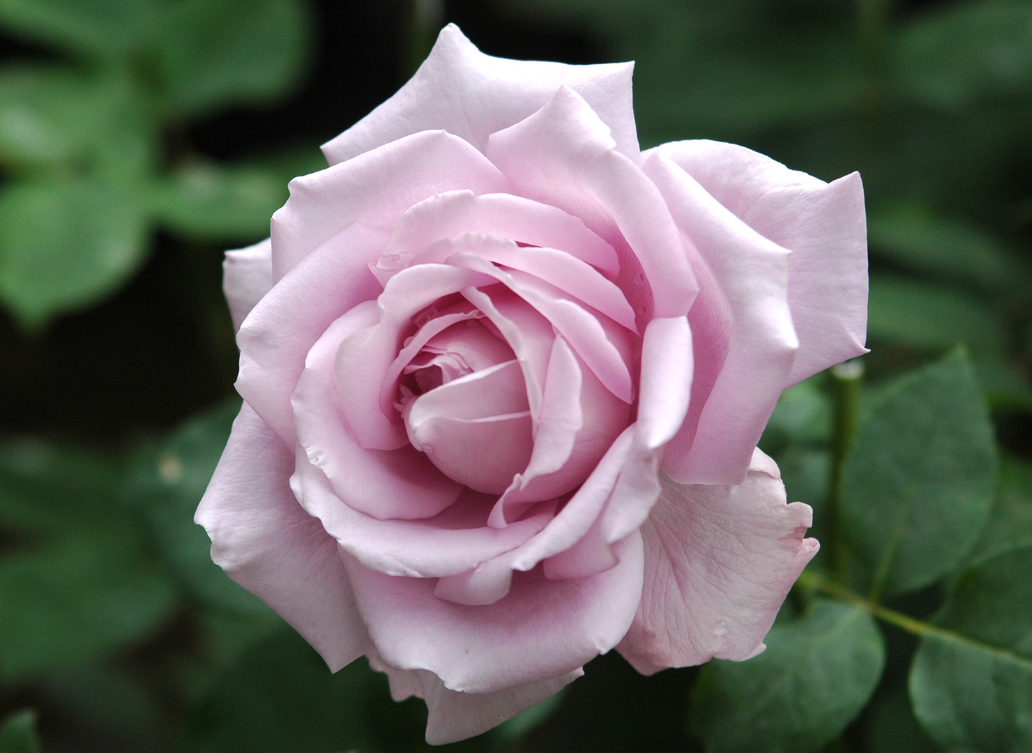 ライラック タイム - Lilac Time