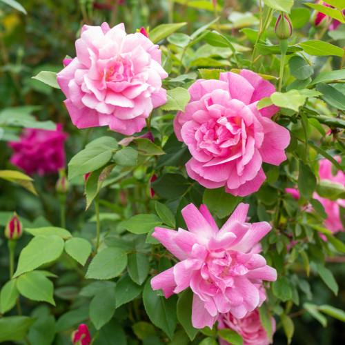 オールド ブラッシュ - Rosa Chinensis 'Old Blush'